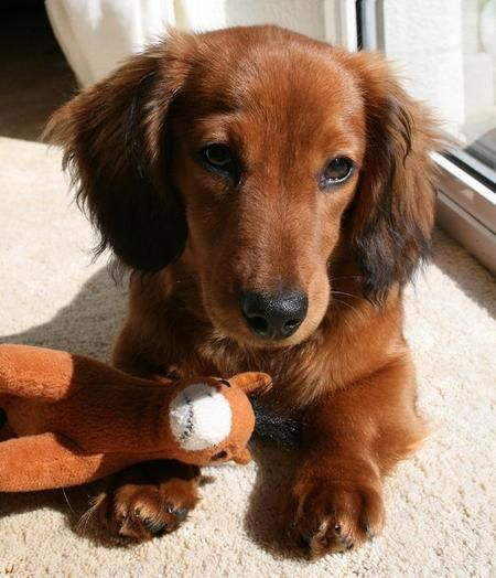 red sable doxie puppy