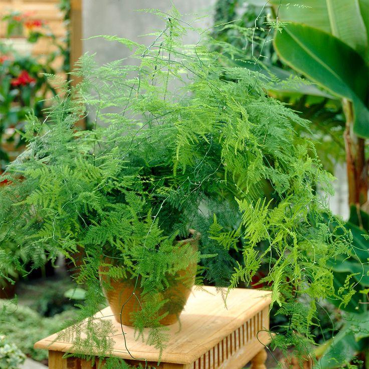 Details about Asparagus Plumosus Indoor Plant 1 x Live
