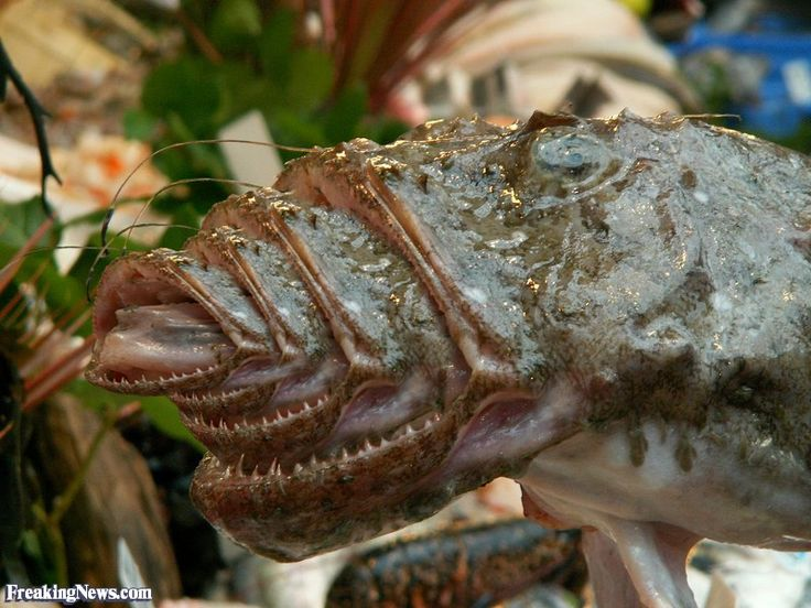 Top 10 ugly fish ugly fish with many mouths pictures for Ugly fish pictures