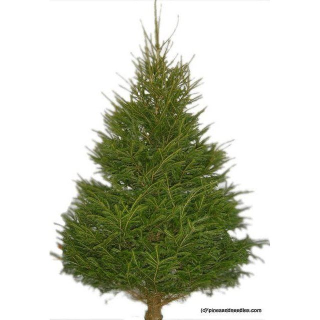 the to norway spruce christmas trees from pines and needles will suit any type of home or garden and can be delivered in time for the big day - Real Christmas Trees Delivered