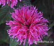 Bubblegum Blast bee balm  Newer shorter, clumping and mildew resistant
