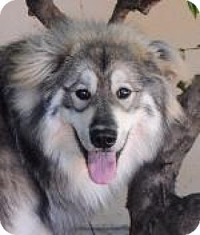 Alaskan Malamute/Belgian Tervuren Mix Dog for adoption in Pt. Richmond, California - MAX BANDITO