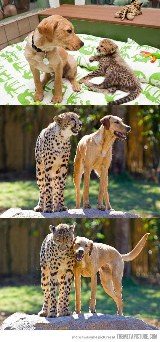 Growin' up together... ♥ Turns out it's all learned behaviour: Cheetah, Adorable Animals, Animals Dogs, Animals And Pets, Puppy Lab, Puppies Lab, Animal Friendships, Awesome Bffs