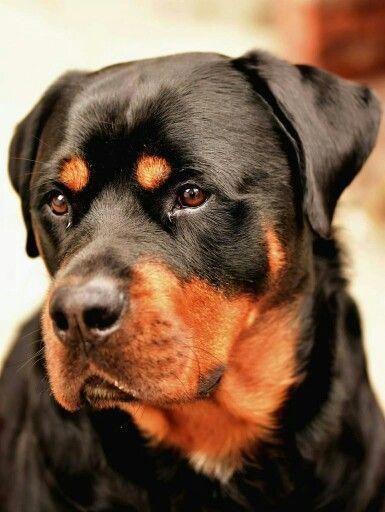 La preparación de los cachorros de Rottweiler seguros #rottweilertales #rottweilerhuskymix #Rot …   – Rottweiler Hunde