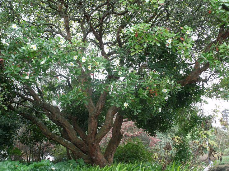 Gordonia axillaris at Hn Gardens, beautiful small tree