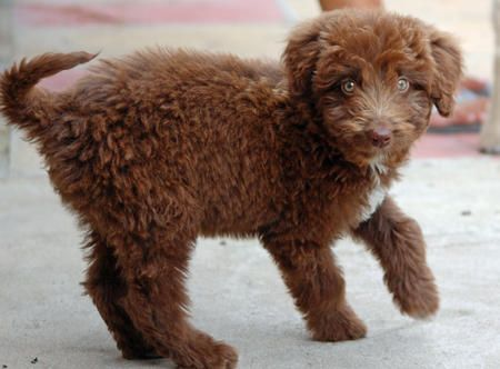 Woody the Poodle Mix