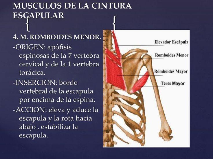 { {  MUSCULOS DE LA CINTURA  ESCAPULAR  4. M. ROMBOIDES MENOR.  -ORIGEN: apófisis  espinosas de la 7 vertebra  cervical y de la ...