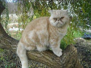 AMICUS RES: NINIVEWEBSITE: Perská kočka a my lidé