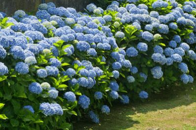 Nikko Blue Hydrangea Macrophylla for Sale - Brighter Blooms Nursery