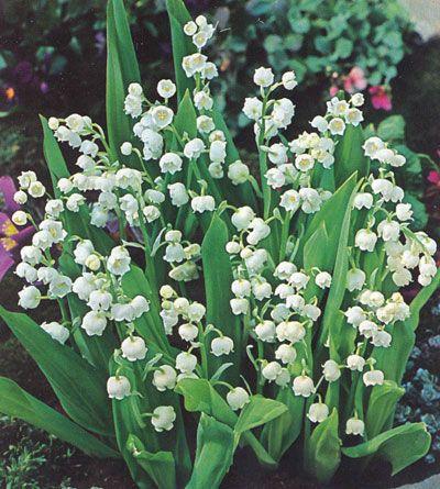 Liljekonvalj (Convallaria majalis) Underbart doftande vilda, vita blommor att plantera i trädgården i halvskuggiga lägen eller under glesa buskar. Blommar i maj. Gillas inte av rådjur. Härdig i stort sett hela landet. Höjd ca 20 cm.