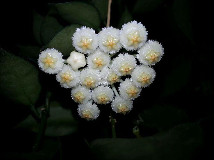 Greenhouse gardening 099 - Hoya Lacunosa By Bucktracks 2014 Hoya Plants Pinterest
