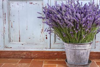 How to Grow Lavender Indoors in a Pot | eHow