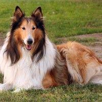 #dogalize Razas de Perros: Collie de pelo largo caracteristicas y cuidados #dogs #cats #pets