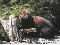The fisher (Martes pennanti) is a small carnivorous mammal native to North America. It is a member of the mustelid family (commonly referred to as the weasel family) and a part of the marten species. The fisher is closely related to but larger than the American Marten (Martes americana). The fisher is a forest-dwelling creature whose range covers much of the boreal forest in Canada to the northern United States