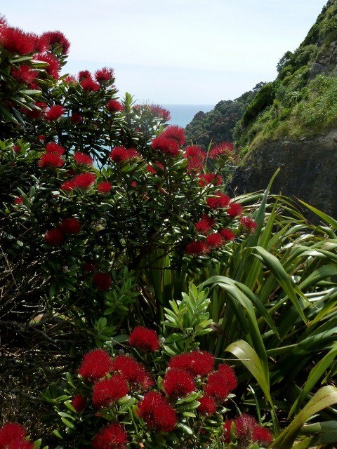 Pohutukawa in the bush. New Zealand. By Margaret Tooley