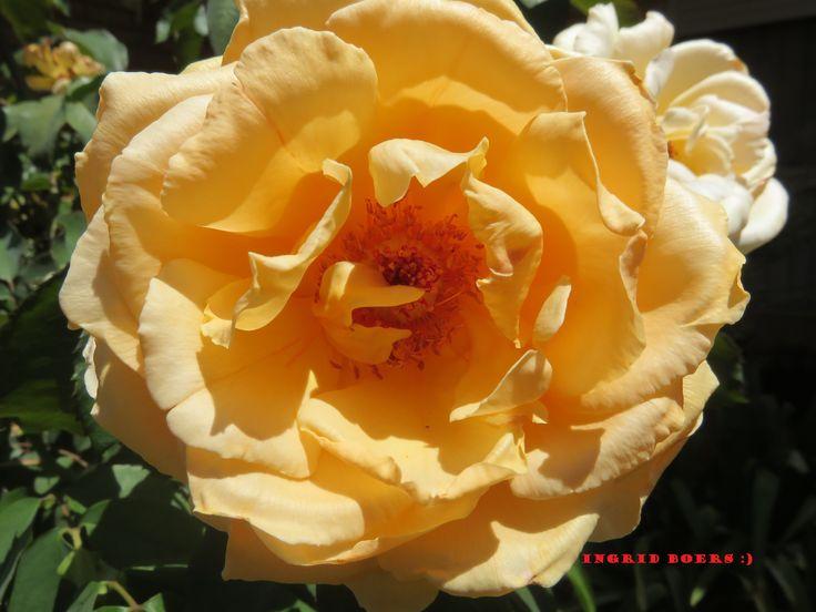 My pretty orange rose :)
