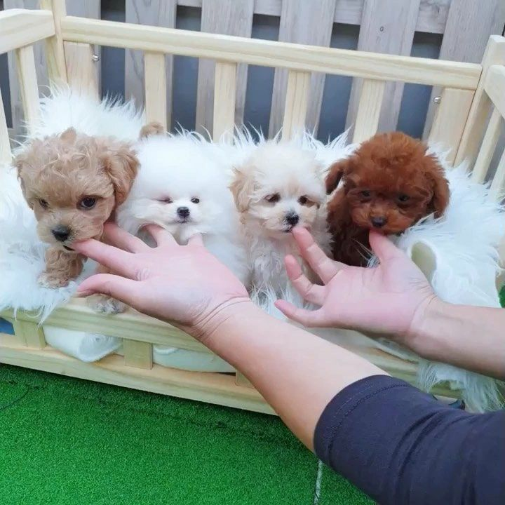 Pin By Tina Mccarthy On So Cute Dogs Teacup Puppies Teacup Puppies For Sale Puppies