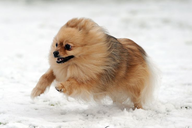 The forerunners of today's Pomeranian breed were large ...