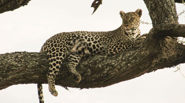 Wildlife in Tarangire. #Africa #Safari #Wildlife #Leopard #Travel #Tarangire #safari #animals #Tanzania