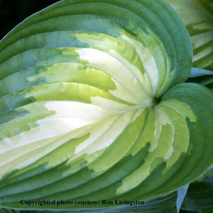 "Hosta ""Rare Breed"""
