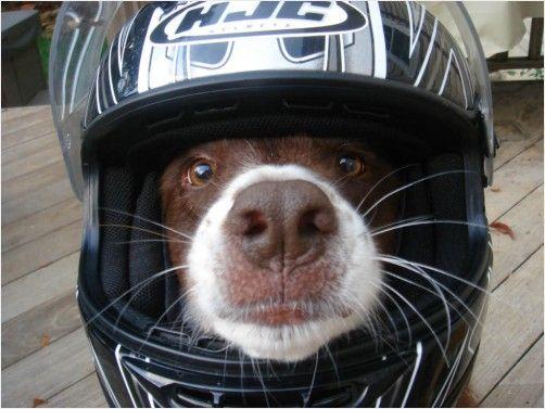 Motorcycle dog!: Motorcycles Photographers, Motorcycles Stuff, Fun Motorcycles, Triumph Motorcycles, Helmets, Motorcycles Dogs, Biki Dogs, Dobermans, Dogs Love