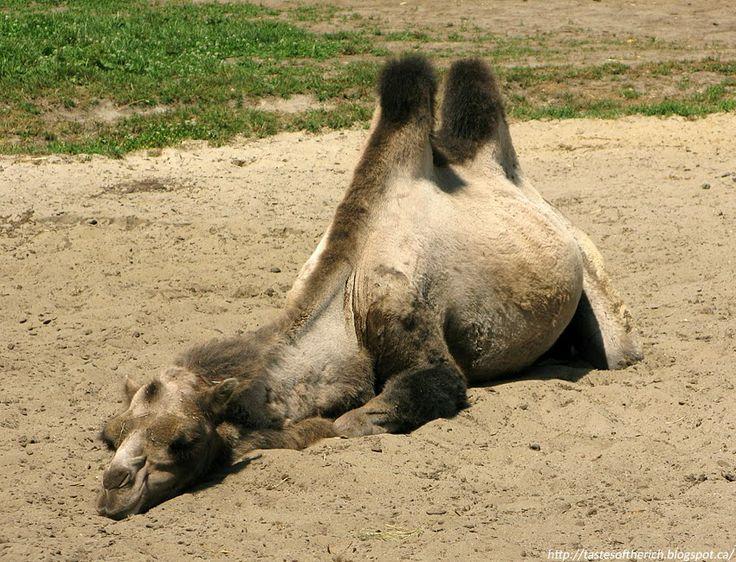 Camel, animals
