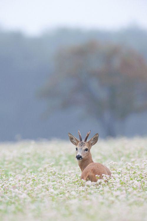 Deer photographed by Hans van den Oever
