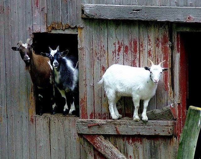 Don't invite the goats inside your house -- they're not really known for their manners.
