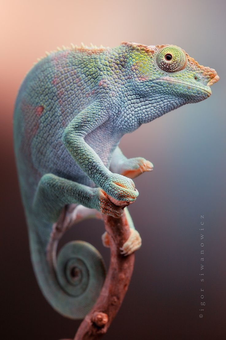 Pastels.  Chartreuse, blue, mint, pale orange, orange, pink, and pale yellow.  Kinyongia fischeri Fisher's chameleon.