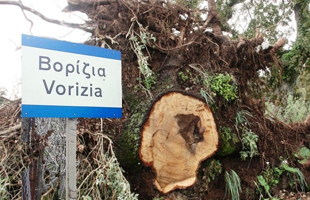Νέα καταστροφή στα Βορίζια – Έκοψαν πάνω από 250 ελαιόδεντρα!