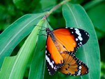 Reproducción de las mariposas tigre