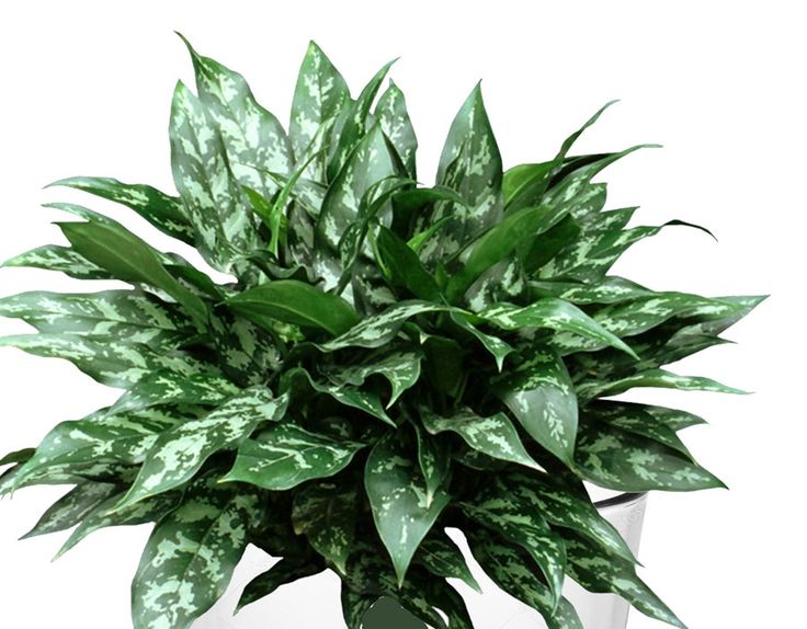 8 Best Indoor Plant Grow In Water Chinese Evergreen