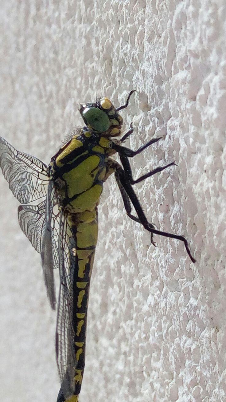 Vážka tmavá (Sympetrum danae) Místo: na naší zahradě
