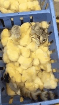 This cat's swimming in a sea of chicks.
