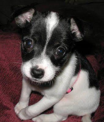 ♥DS♥ 330 Toy Fox Terrier Puppy
