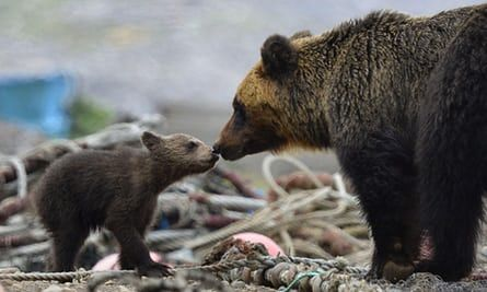 A brown bear cub and its mother on the Shiretoko Peninsula