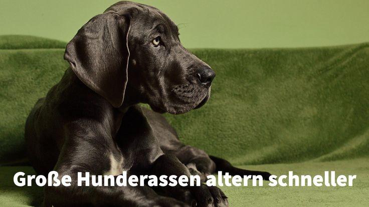 Große Hunderassen wie #Doggen und #Mastiffs altern schneller #Lebenserwartung #Hunde