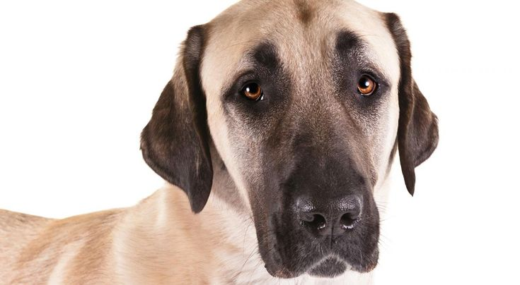 Right breed for you? Anatolian Shepherd Dog information including personality, history, grooming, pictures, videos, how to find a Anatolian Shepherd Dog and AKC standard.