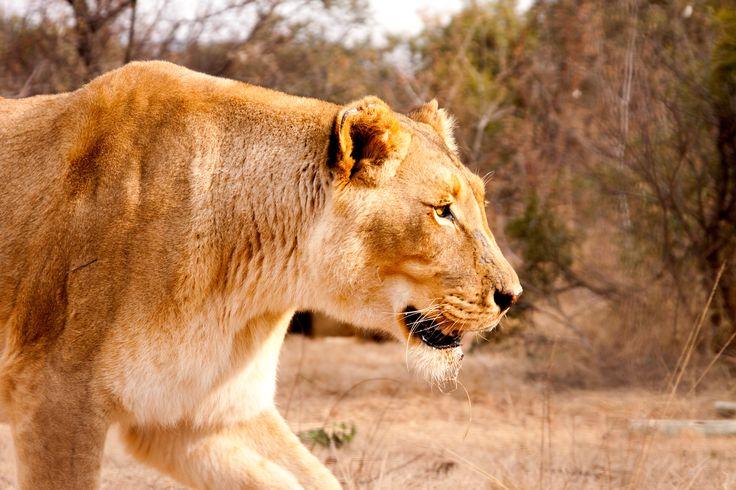 Man vs. Lion | Zondag 15 februari om 18.00 uur | Boone Smith trekt door het Nambiti-wildreservaat, waar hij oog in oog komt te staan met leeuwen die op jacht zijn naar prooi en naar een partner.