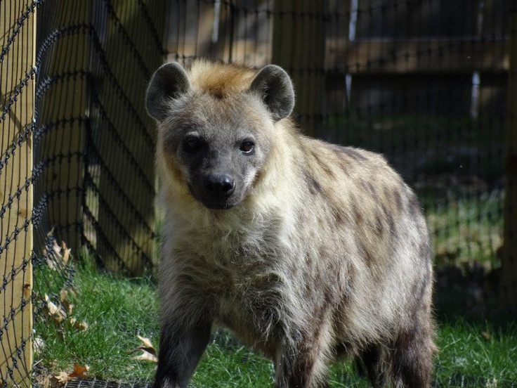 Meet Giggles, she is our female Hyena.