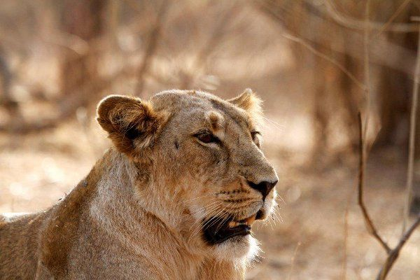 The Last 400 Asiatic Lions Need More Room to Grow�but Where Will They Go?