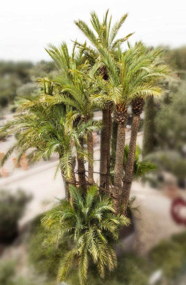 PALMIER DATTIER - ENSEMBLE DE 11 TRONCS Phoenix dactylifera Famille botanique: Arecaceae Description: palmier d'origine nord-africaine, une des espèces les plus résistantes au froid. Sujet unique à 11 troncs. Hauteur: 700/800 cm Largeur: 500/600 cm. Vente Joron Derem  - 01/11/2015