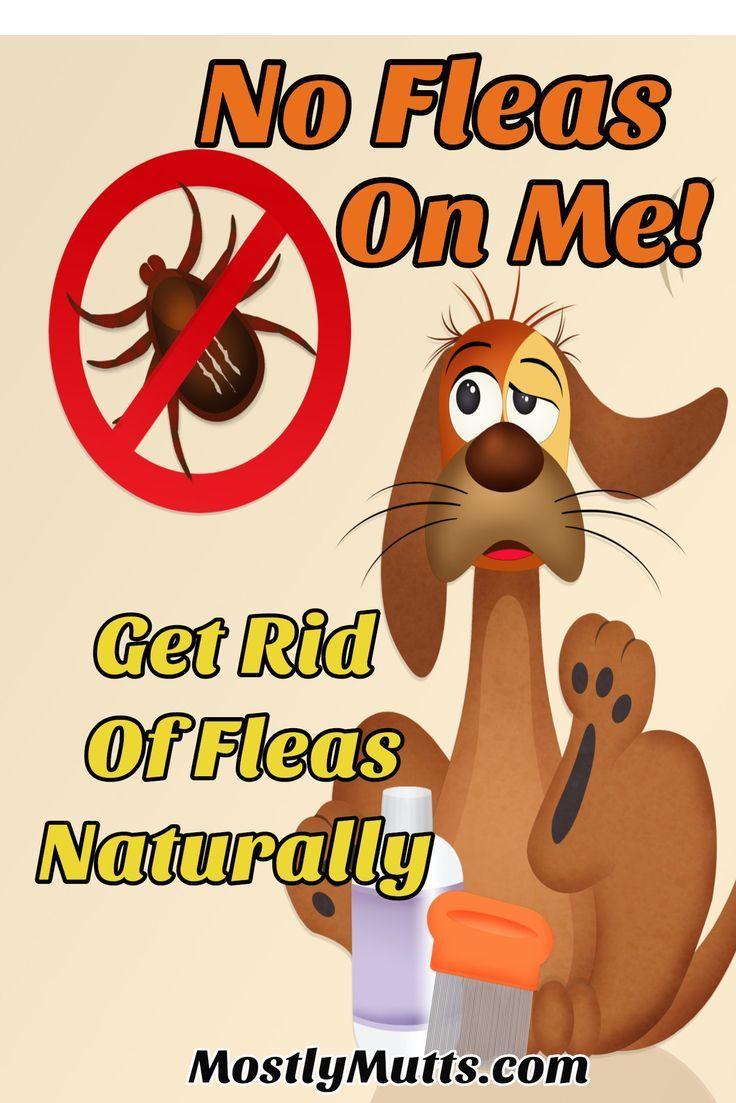 How To Get Rid Of Fleas Naturally Dog Safe Medicine Fleas Dog