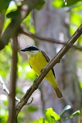 Bem-te-vi -Fauna do Brasil I have a lot of these happy birds at my backyard <3