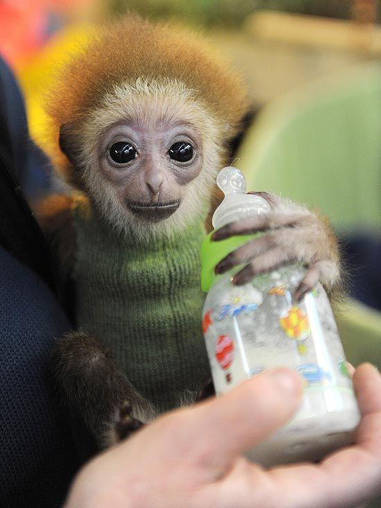 Bremen, Alemanha - Filhote de Gibão Knuppy, de apenas três meses, ganha mamadeira.