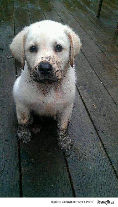 puppy labrador  – Animals