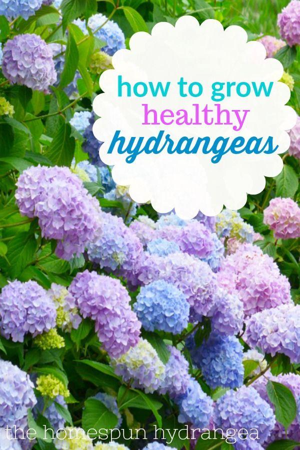 7 Tips On How To Grow Hydrangeas In Your Yard The Homespun Hydrangea Growing Hydrangeas Hydrangea Care Hydrangea Garden