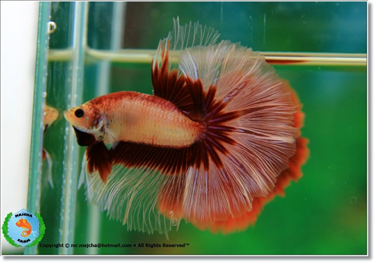 1234 best images about bettas on pinterest beautiful for What type of water do betta fish need