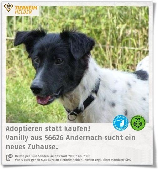 Sonnenschein Vanilly darf aus dem Tierheim Andenach umziehen.  http://www.tierheimhelden.de/hund/tierheim-andernach/mischling/vanilly/10767-0/  Die schöne Vanilly ist ein sehr sozialer Hund, der aktuell im Rudel lebt und nur in Zweithundehaltung vermittelt wird. Sie ist sehr verspielt und sollte daher zu einem ähnlich alten Hund.  Kleine Kinder sollten im neuen Zuhause nicht leben.
