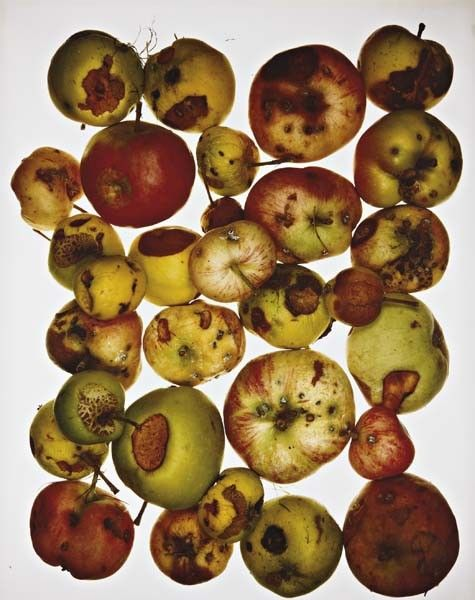 IRVING PENN Red Apples, July 15, 1985